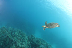 Hawksbill turtle (Eretmochelys imbricata) Royalty Free Stock Photos