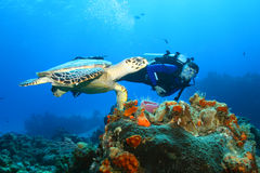 Hawksbill Turtle (Eretmochelys Imbricata)and Diver Royalty Free Stock Image