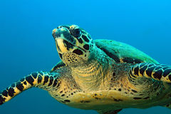 Hawksbill Turtle Royalty Free Stock Photography