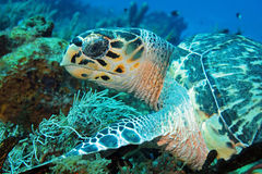 Hawksbill Turtle. (Eretmochelys Imbricata) Close-up, Cozumel, Mexico Royalty Free Stock Images