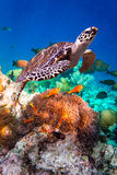 Hawksbill Turtle - Eretmochelys imbricata. Floats under water. Maldives Indian Ocean coral reef royalty free stock photos