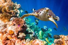 Hawksbill Turtle - Eretmochelys imbricata Royalty Free Stock Image