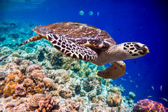 Hawksbill Turtle - Eretmochelys imbricata. Floats under water. Maldives Indian Ocean coral reef Royalty Free Stock Images
