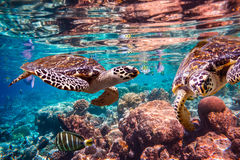 Hawksbill Turtle - Eretmochelys imbricata. Floats under water. Maldives Indian Ocean coral reef royalty free stock photography