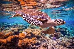 Hawksbill Turtle - Eretmochelys imbricata Stock Image