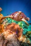 Hawksbill Turtle - Eretmochelys imbricata Stock Images