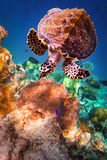 Hawksbill Turtle - Eretmochelys imbricata Stock Photography