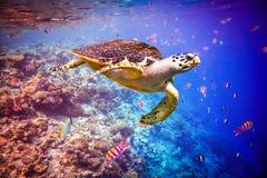 Hawksbill Turtle - Eretmochelys imbricata Stock Photos
