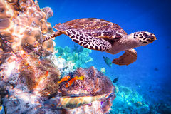 Hawksbill Turtle - Eretmochelys imbricata. Floats under water. Maldives - Ocean coral reef. Warning - authentic shooting underwater in challenging conditions. A royalty free stock photo