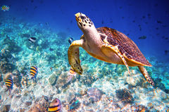 Hawksbill Turtle - Eretmochelys imbricata. Floats under water. Maldives - Ocean coral reef. Warning - authentic shooting underwater in challenging conditions. A Stock Photography