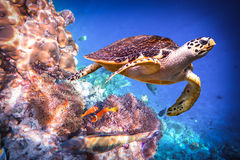 Hawksbill Turtle - Eretmochelys imbricata. Floats under water. Maldives - Ocean coral reef. Warning - authentic shooting underwater in challenging conditions. A stock photo