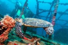 The Hawksbill Turtle (Eretmochelys imbricata) near Corals. Maldives stock image