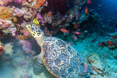 The Hawksbill Turtle (Eretmochelys imbricata) near Corals Royalty Free Stock Photos