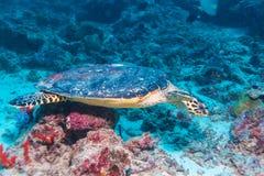 The Hawksbill Turtle (Eretmochelys imbricata) near Corals. Maldives royalty free stock photography