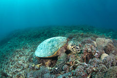 Hawksbill turtle (Eretmochelys imbricata) in reef. A hawksbill turtle (Eretmochelys imbricata) eating in a tropical coral reef royalty free stock photo