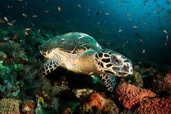 Hawksbill Turtle - Eretmochelys imbricata. A Hawksbill Turtle - Eretmochelys imbricata - rests on the reef. Taken in Komodo National Park, Indonesia stock photos