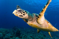 Hawksbill turtle face Stock Photo