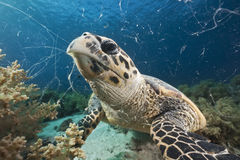 Hawksbill turtle feeding Royalty Free Stock Images