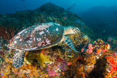 Hawksbill Turtle feeding on a reef Stock Photography