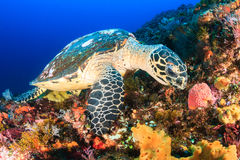 Hawksbill Turtle feeding on a reef Royalty Free Stock Photography