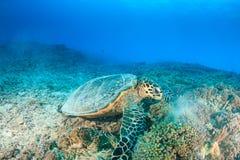 Hawksbill Turtle feeding Royalty Free Stock Photo