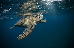Hawksbill turtle floating in dark blue clear water. Marine life, underwater fauna and flora stock photography