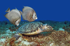 Hawksbill Turtle and Gray Angelfish Stock Image