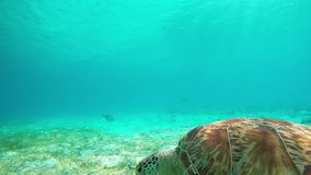 Hawksbill Turtle, Green Sea Turtle. Maldives. Amazing close up portrait on green sea turtle in turquoise waters of Maldives. Slow motion video stock video footage