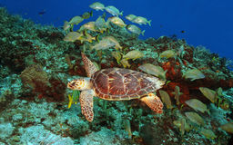 Hawksbill Turtle and Grunts Royalty Free Stock Photography
