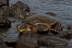 Hawksbill Turtle. In Hawaii, USA royalty free stock photography