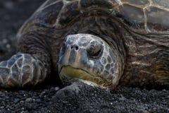 Hawksbill Turtle. In Hawaii, USA stock image