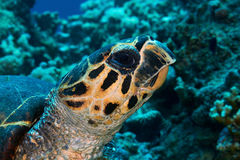 Hawksbill turtle head Royalty Free Stock Photos