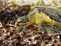 Hawksbill Turtle In Kenya Royalty Free Stock Photos