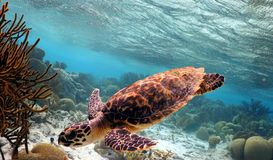 Hawksbill Turtle. A juvenile Hawksbill Turtle swimming along a reef stock photography