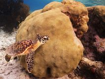 Hawksbill Turtle. A juvenile Hawksbill Turtle swimming along a reef stock image
