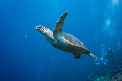 Turtle Escaping. A hawksbill turtle in komodo, Indonesia Stock Images