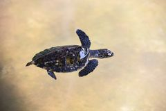 Hawksbill turtle little baby 2-3 months old - Sea turtle swimming on water pond on the farm royalty free stock photography