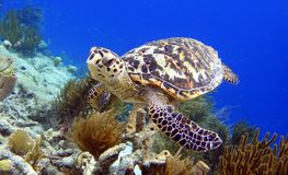 Hawksbill Turtle. A hawksbill turtle looking at me royalty free stock photos