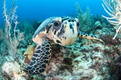Hawksbill Turtle in Caribbean Waters. A hawksbill turtle looks at the lens in Akumal, Quintana Roo, Mexico royalty free stock photos