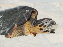Hawksbill Turtle Nesting. Hawksbill Turtle (Eretmochelys imbricata), Cousin Island, Seychelles, Indian Ocean Royalty Free Stock Photo