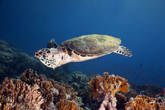 Hawksbill turtle and ocean Stock Image