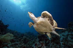 Hawksbill turtle and ocean Royalty Free Stock Photo