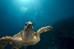 Hawksbill turtle and ocean Royalty Free Stock Photos