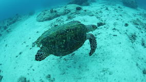 Hawksbill Turtle in Palau. A Hawksbill sea turtle swims over a coral reef in Palau, Micronesia. Palau is famous for its healthy fish and shark populations. It is stock video footage