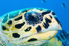 Hawksbill turtle portrait Stock Photography