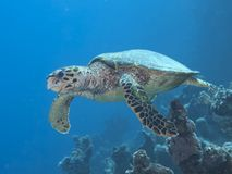 Hawksbill turtle Stock Images