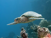 Hawksbill turtle Royalty Free Stock Photos