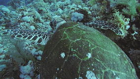 Hawksbill Turtle in the Red Sea stock video