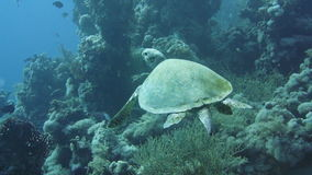 Hawksbill Turtle in the Red Sea. Hawksbill Turtle on a coral reef in the Red Sea stock footage