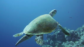 Hawksbill Turtle in the Red Sea. Hawksbill Turtle on a coral reef in the Red Sea stock video footage